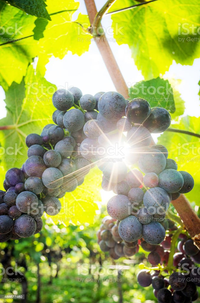 Red (red-purple ) grapes in the vineyard stock photo