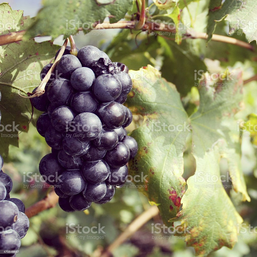 Red grapes of wine with leaves stock photo