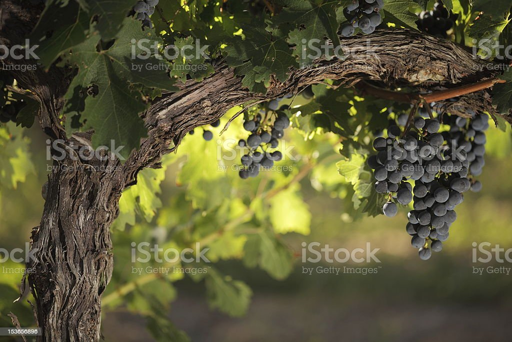 Red grapes on an old vine stock photo