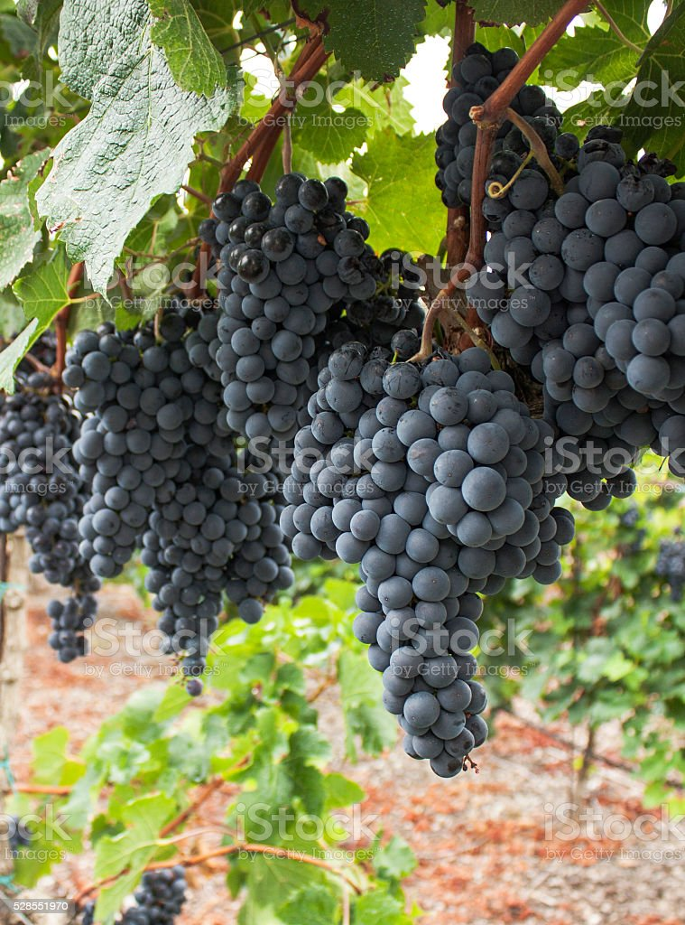 Red Grapes on the Vine in Spain. stock photo