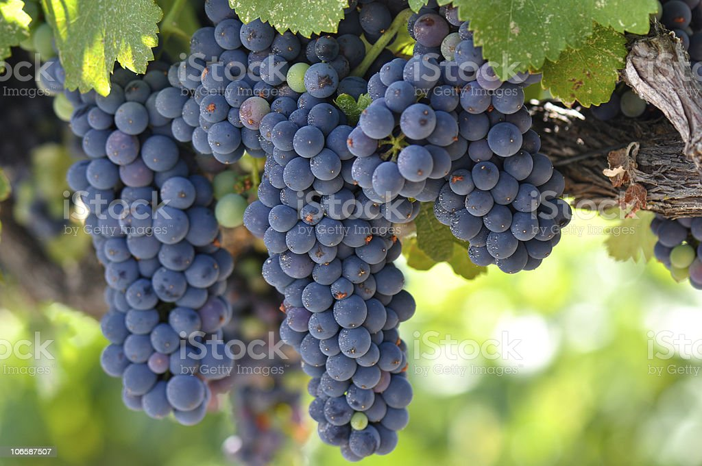 Red Grapes on the Vine royalty-free stock photo