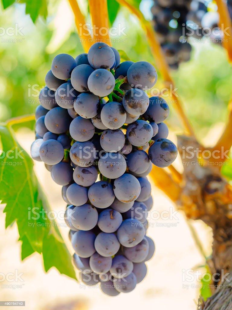 Red uvas nas videiras. Tinta de Toro uva. foto royalty-free