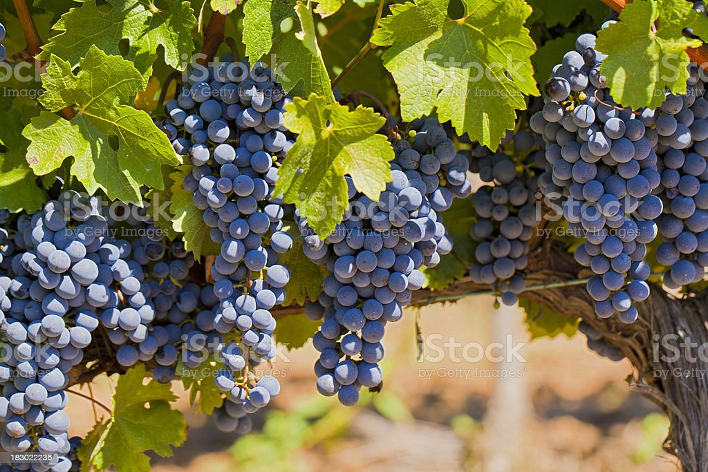 red grapes on vine stock photo