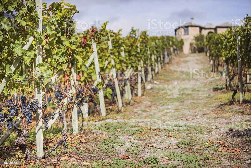 Red Grapes on Vine royalty-free stock photo