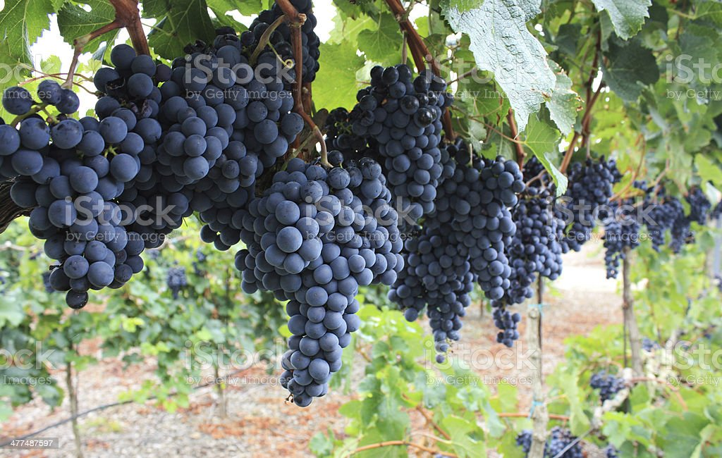 Red grapes. stock photo