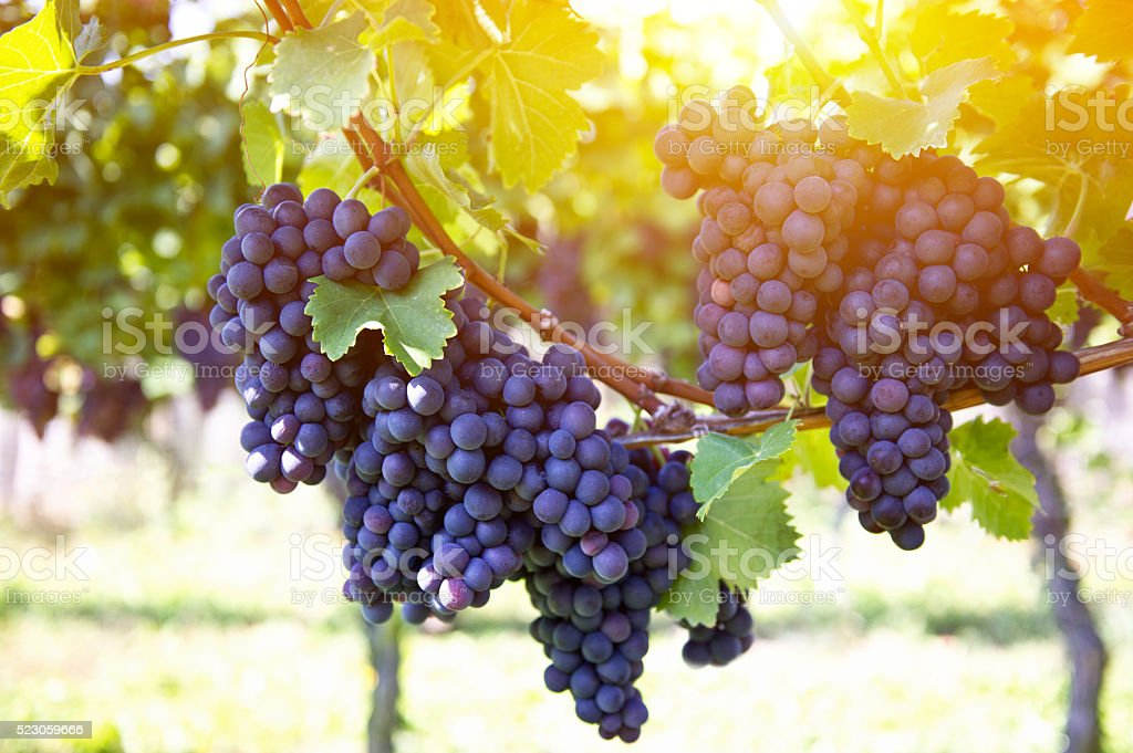 Red grapes with green leaves on the vine by sunset stock photo