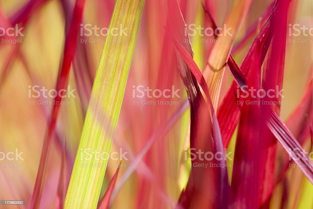 Red grass royalty-free stock photo