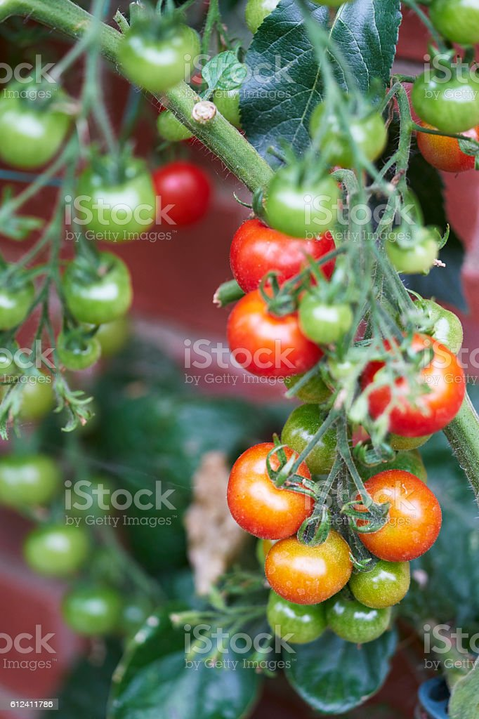 Red, green and orange tomatoes on vine stock photo