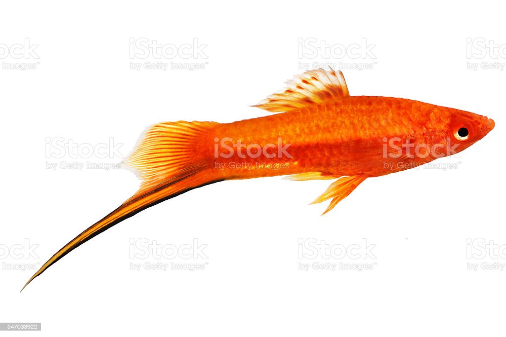 Red Green Swordtail Female Xiphophorus Helleri aquarium fish isolated stock photo