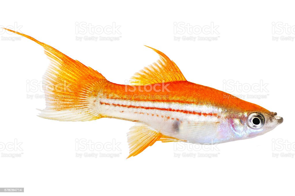 Red Green Swordtail Female Xiphophorus Helleri aquarium fish stock photo