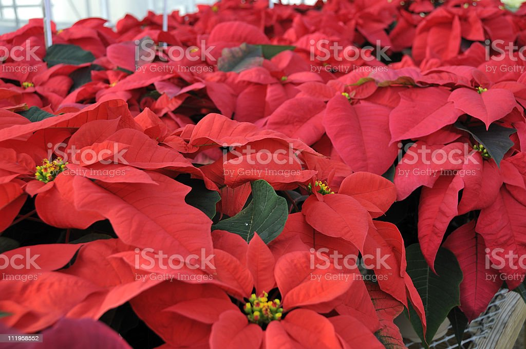 Red Greenhouse Poinsettias royalty-free stock photo