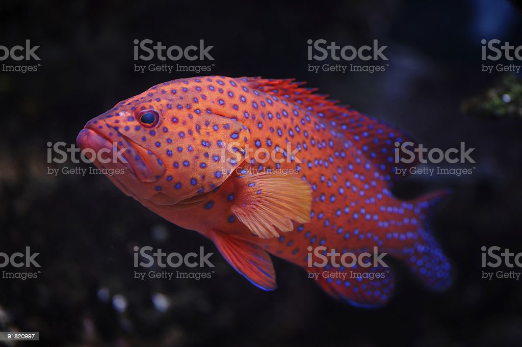 Red groper royalty-free stock photo