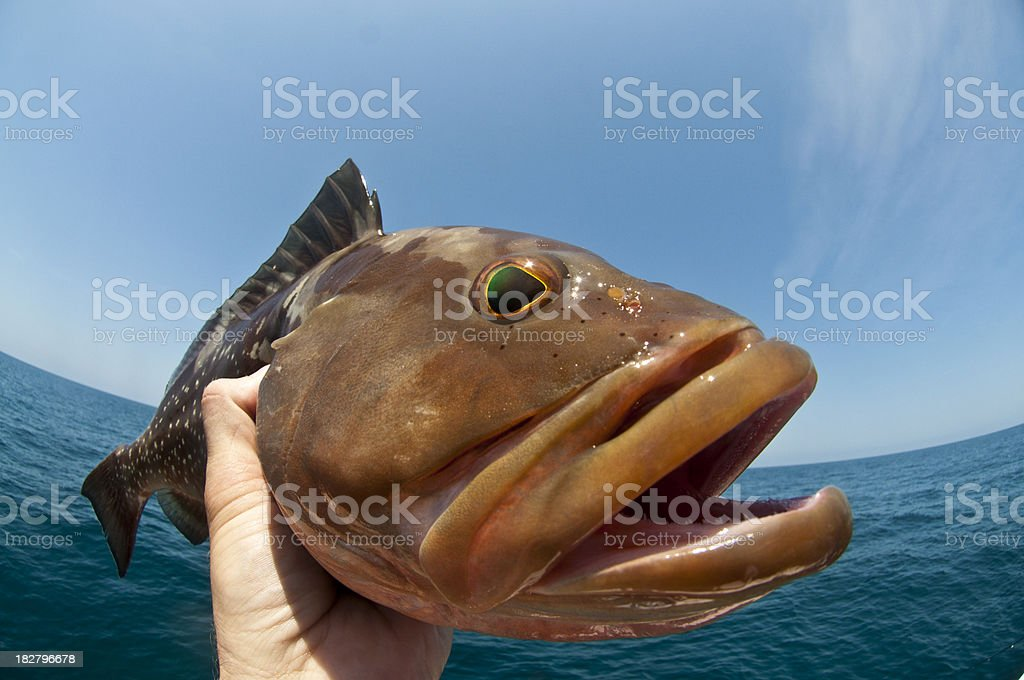 Red Grouper royalty-free stock photo