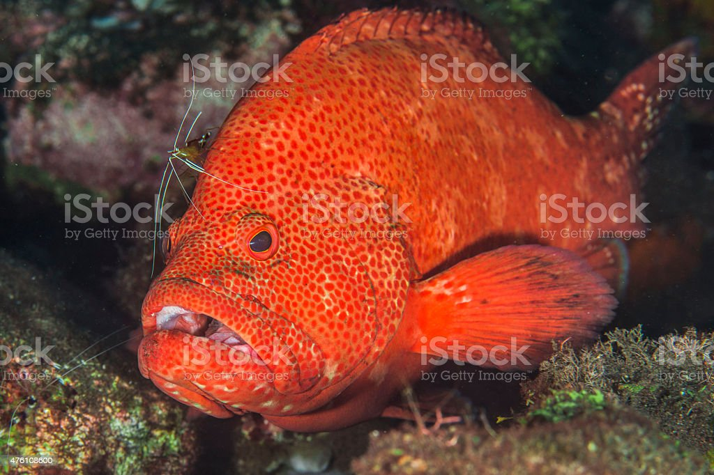 Red Grouper stock photo