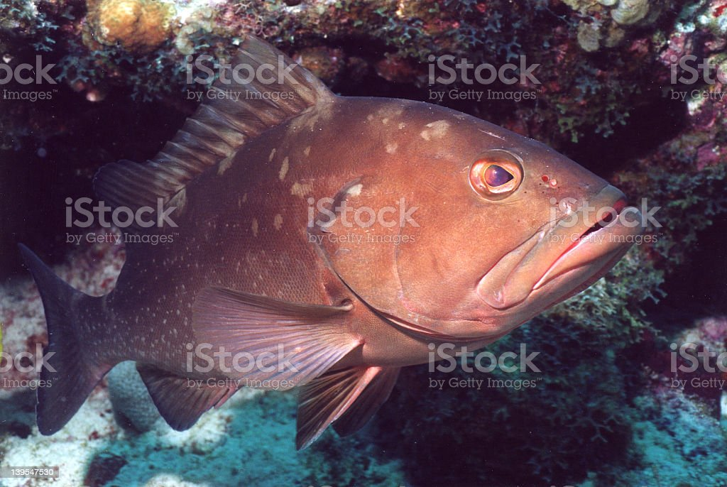Red grouper swimming in coral reef underwater stock photo