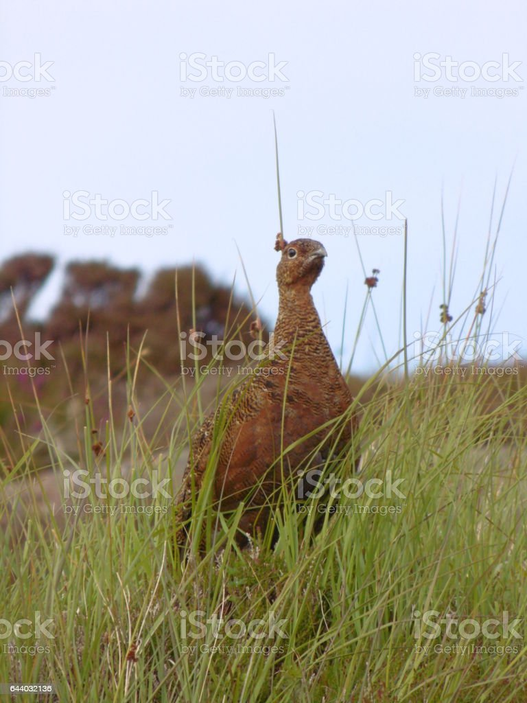 Red Grouse in Heather stock photo