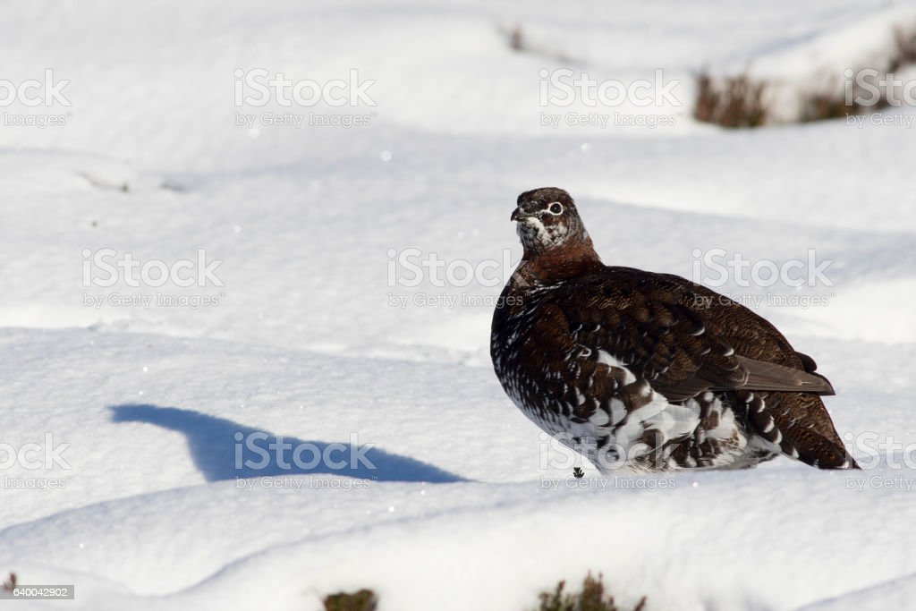 Red Grouse (Lagopus lagopus) in the snow, Scotland stock photo