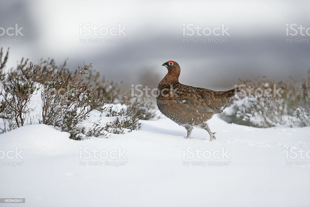 Red grouse, Lagopus lagopuss stock photo