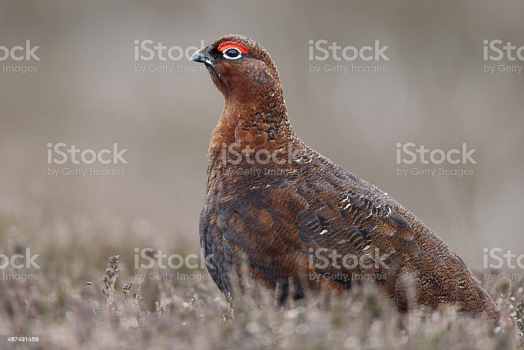 Red grouse, Lagopus lagopuss scoticus stock photo