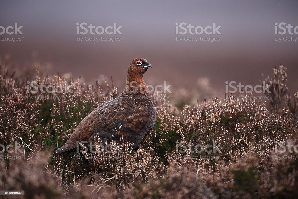 Red grouse, Lagopus scoticus stock photo