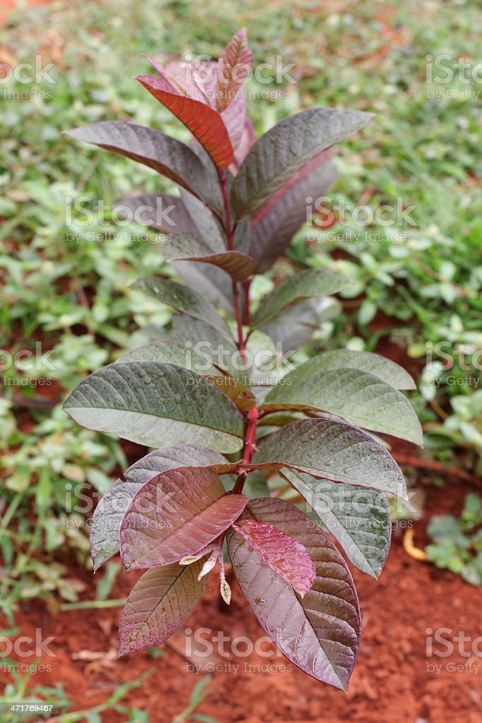Red guava tree royalty-free stock photo