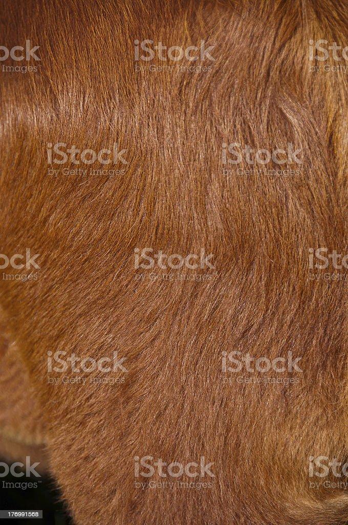 Cuero de vaca de pelo rojo foto de stock libre de derechos