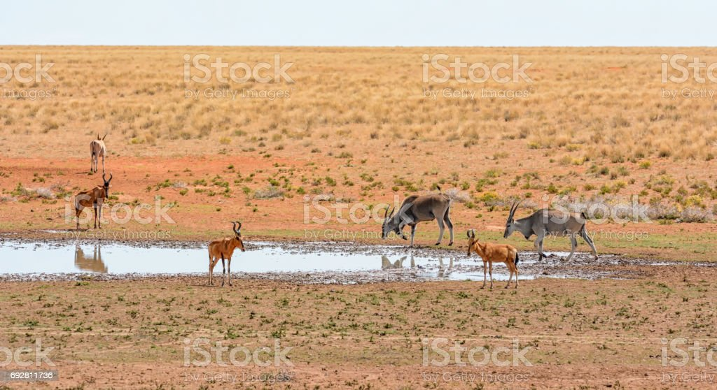 Red Hartebeest and Eland stock photo