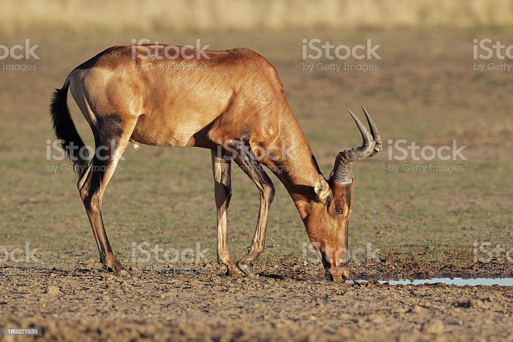 Red hartebeest drinking royalty-free stock photo