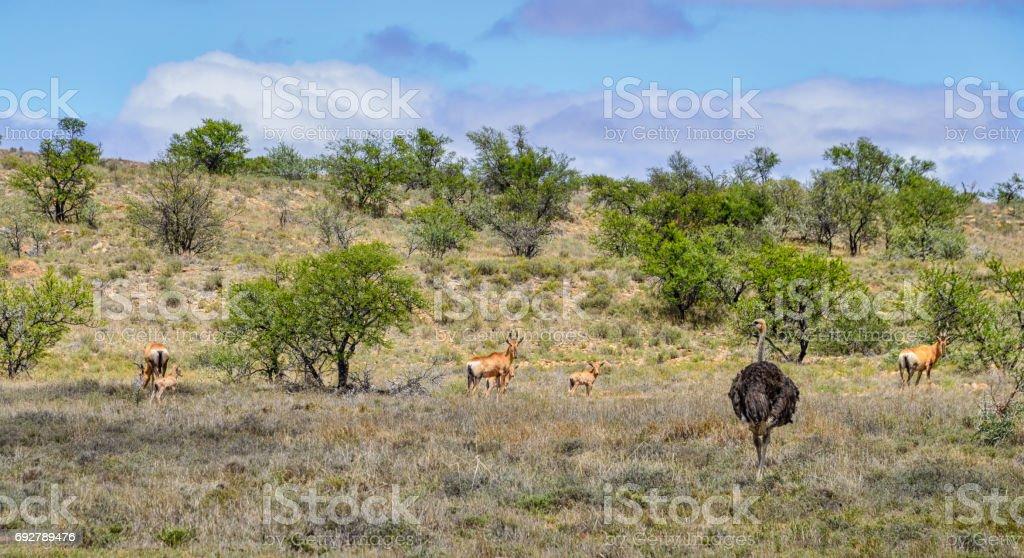 Red Hartebeest Herd stock photo