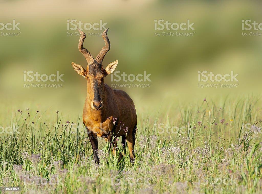 Red Hartebeest zbiór zdjęć royalty-free