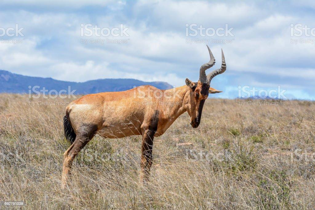 Red Hartebeest Portrait stock photo