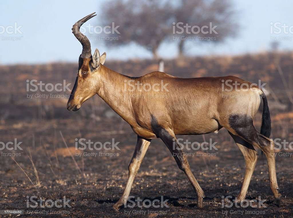 Red Hartebeest walking by stock photo