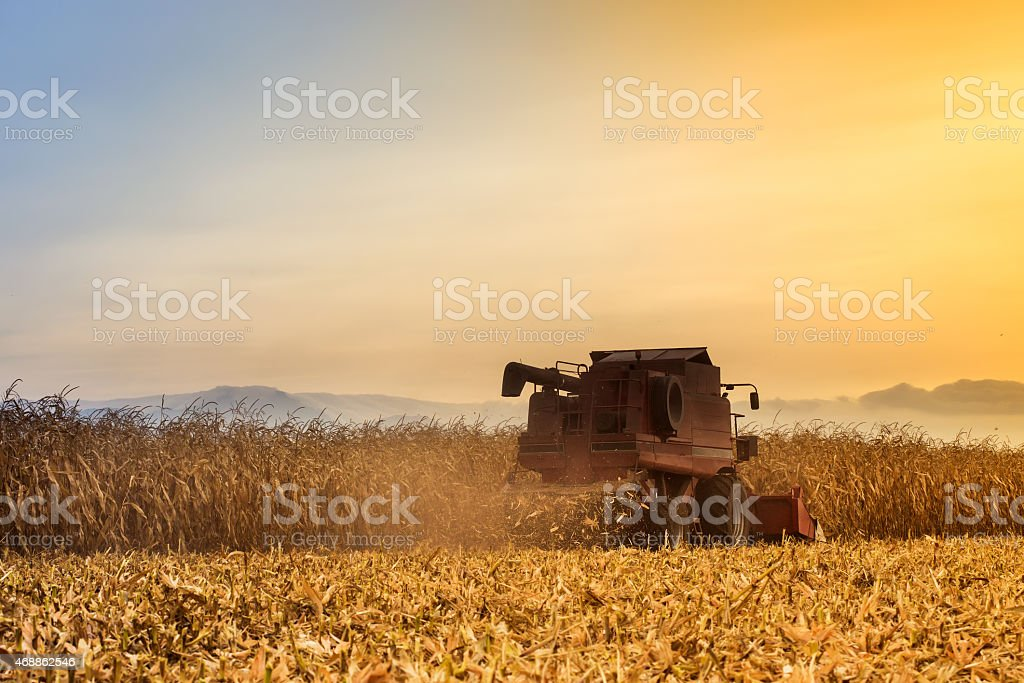 Red harvester working on corn field stock photo