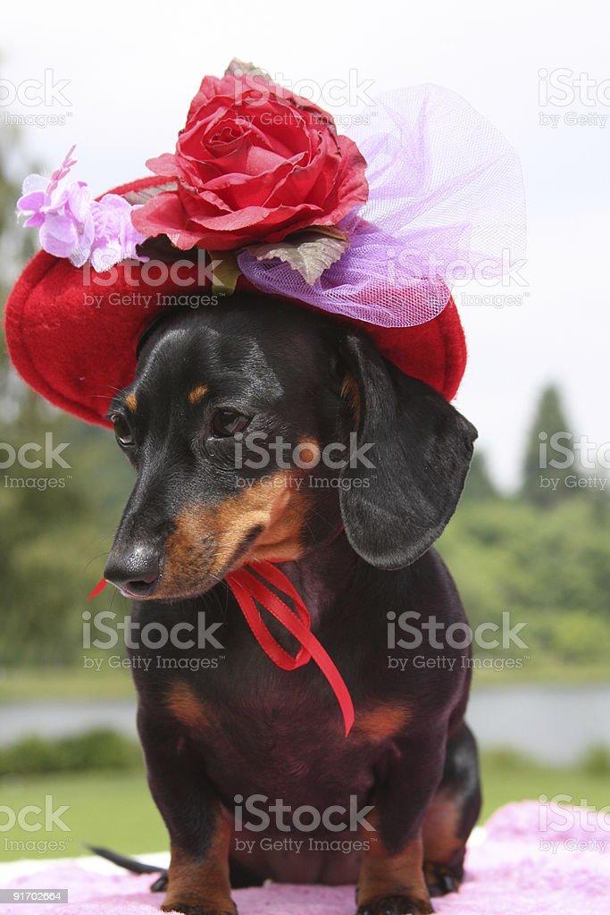 Red Hat Daschund royalty-free stock photo