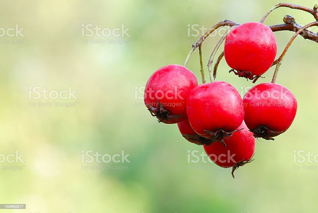 Red haw berries on branch royalty-free stock photo