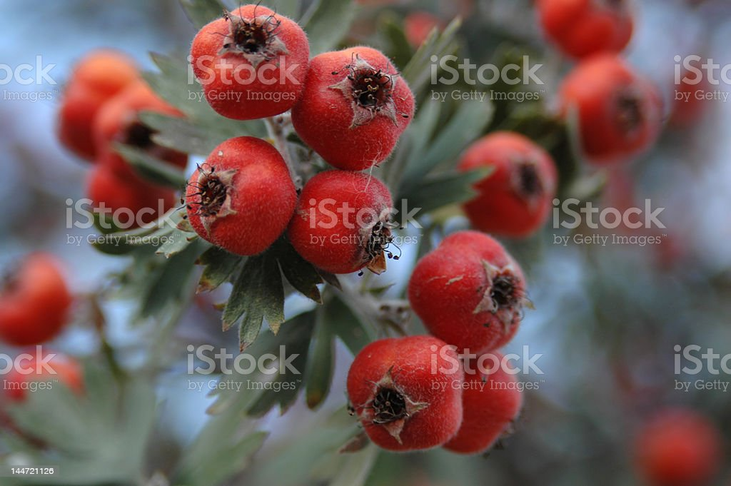 red haw branch royalty-free stock photo