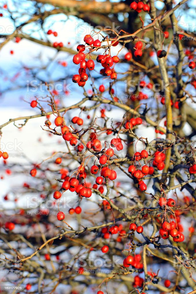 red hawthorn berries royalty-free stock photo