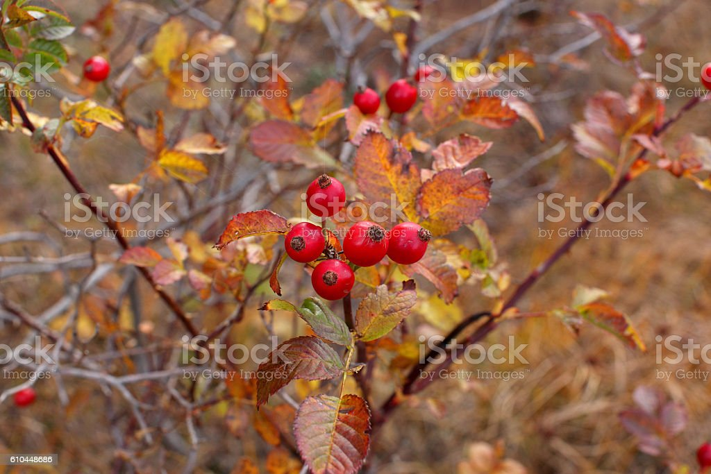 red hawthorn berries stock photo