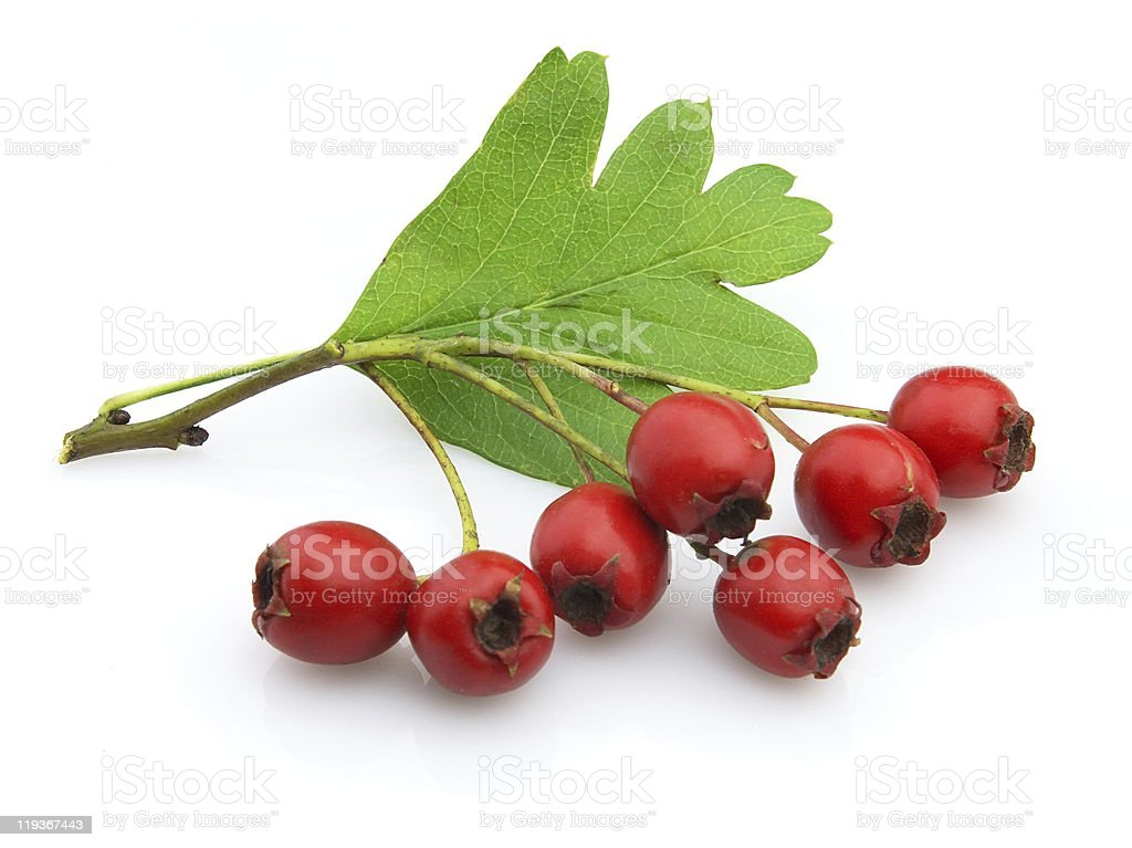 Red hawthorn isolated on a white background stock photo