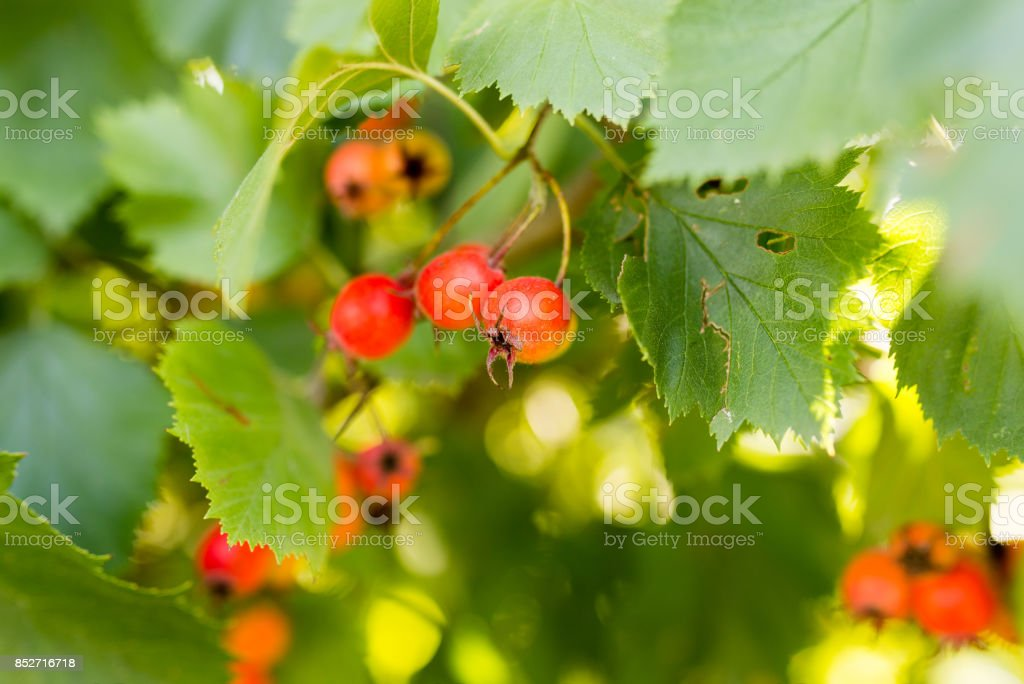 red hawthorn on a tree branch in the garden stock photo
