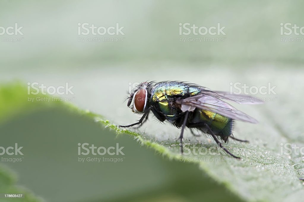 red head fly royalty-free stock photo
