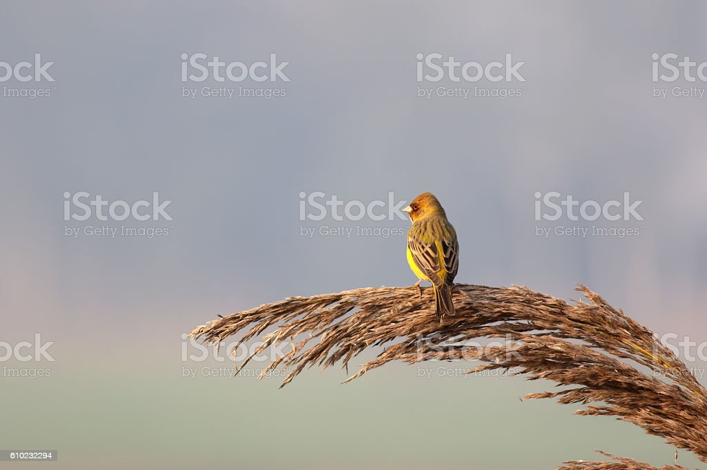 Red headed bunting stock photo