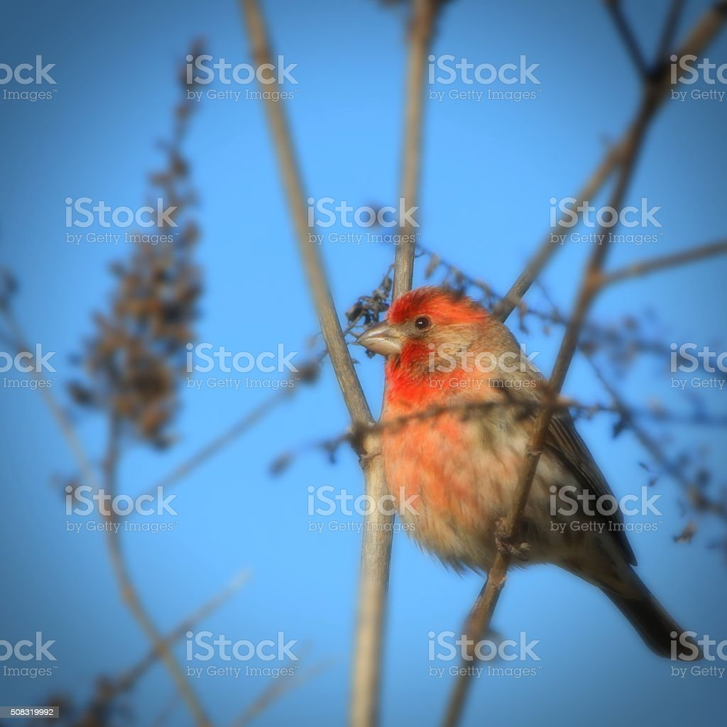 Red headed Finch stock photo