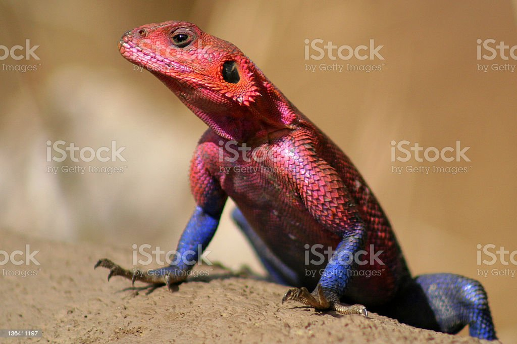 Red Headed Rock Agama stock photo