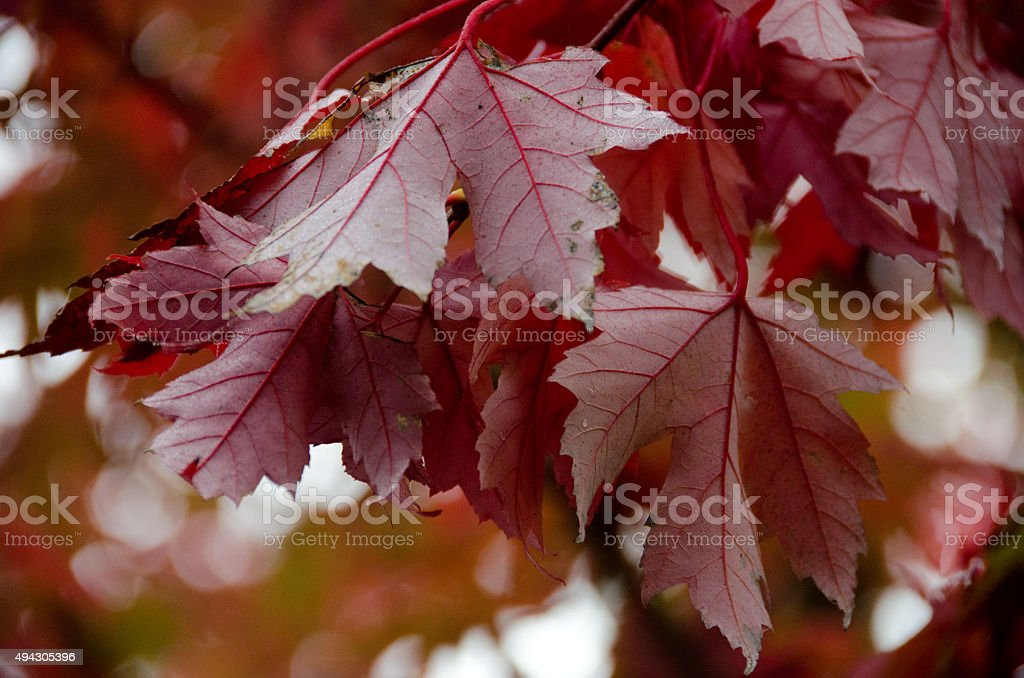 Red heap hanging of maple tree stock photo