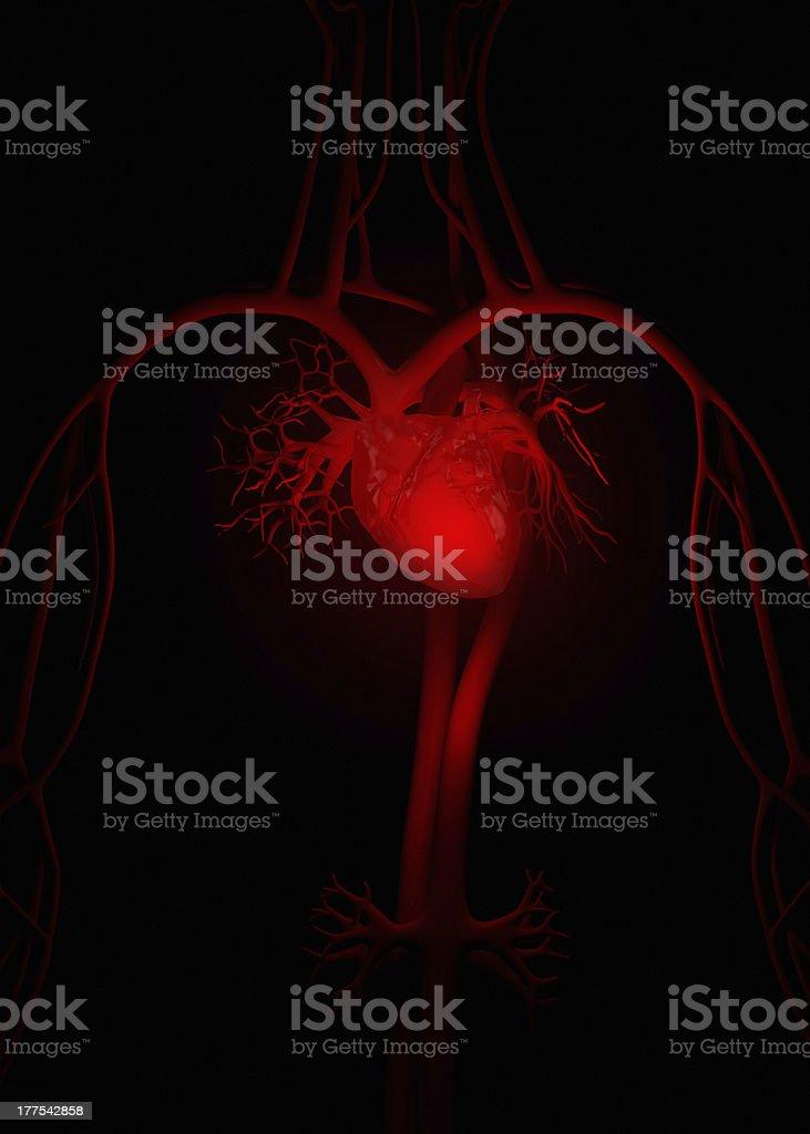 Red heart anatomy stock photo