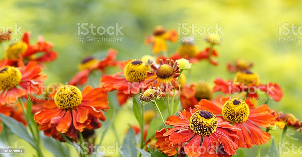 Red helenium flowers royalty-free stock photo