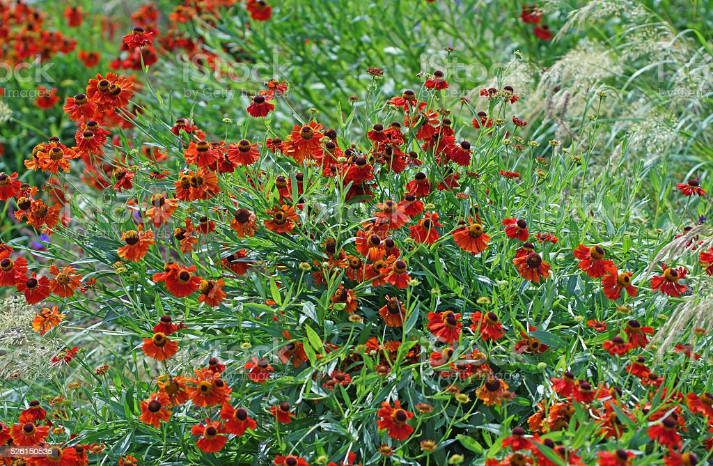 Red helenium flowers stock photo