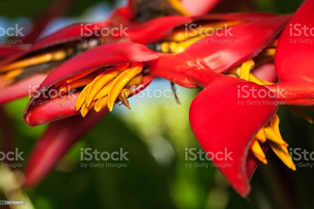 Red Heliconia stock photo