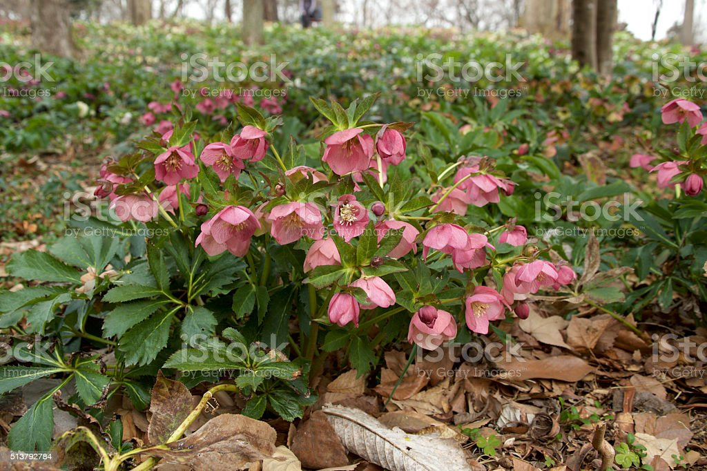 Red hellebore stock photo